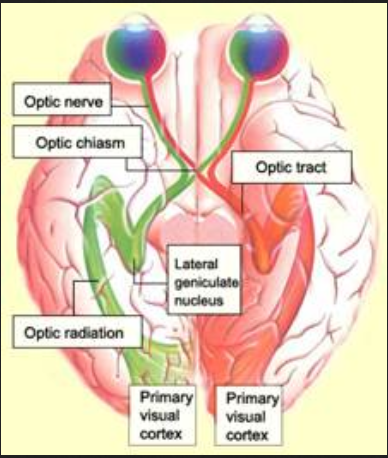 optical nerve .... atomic